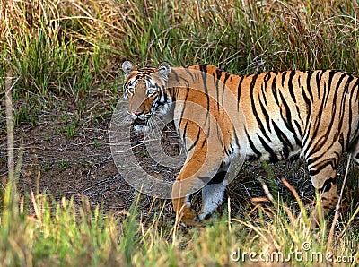 Telia tigress on the prowl