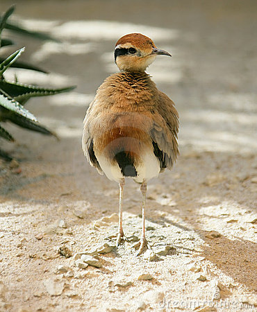 Free Temminck`s Courser 1 Royalty Free Stock Photos - 2368198