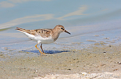 Temminck s stint