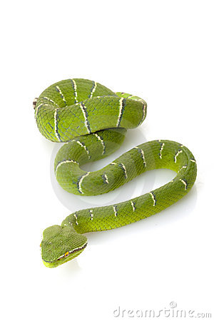 Free Temple Viper Royalty Free Stock Photography - 11444487
