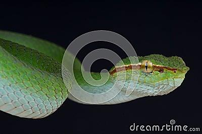 Temple viper male
