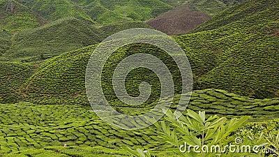 4.000 Tempos da Fazenda de Plantação de Chá Verde, Cameron Highland filme