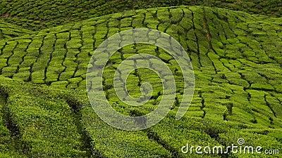 4.000 Tempos da Fazenda de Plantação de Chá Verde, Cameron Highland vídeos de arquivo