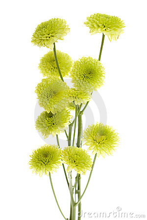 Ten Green Mini Button Pom Pom Flowers