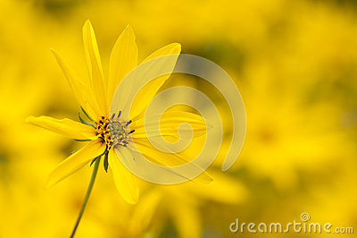 Ten-Petal Sunflower