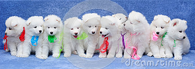 Ten Samoyed dog puppies