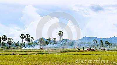 Tend oxen on harvested field, fumes of straw, cloud sky, Mekong