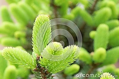 Tender Cedar branches