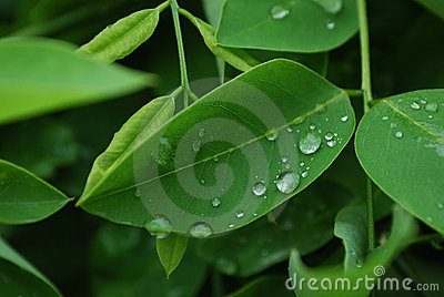 Tender Leaves with Raindrops