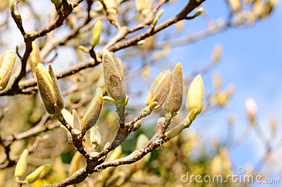 Tender magnolia buds in the spring