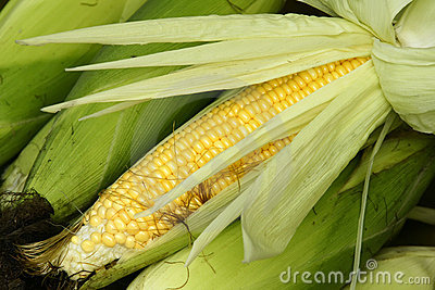 Tender maize cob