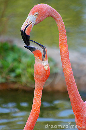 Tenderness of a flamingo