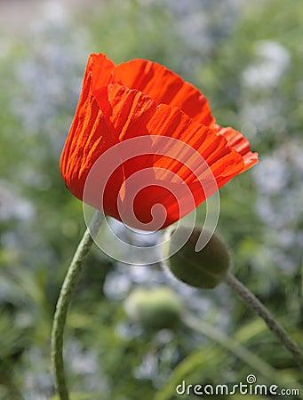 Tenderness poppy