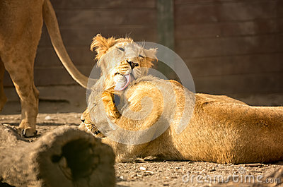 Tenderness young lions
