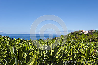 Tenerife - Banana Fields, Ocean and blue Sky