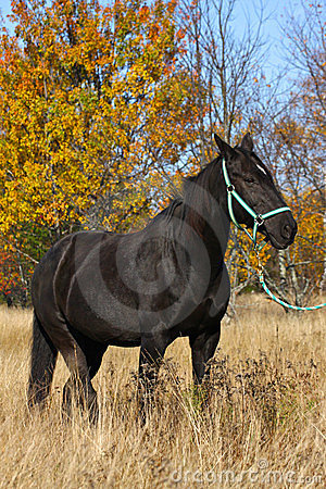 Tennessee Walker Saddlebred mix  horse in a field