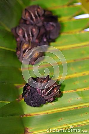 Tent-Making Bats under a palm leaf