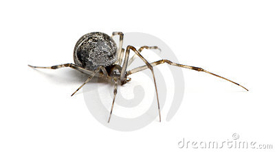 Tepidariorum commun d 39 araign e de maison d 39 achaearanea for Araignee de maison