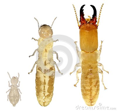 Free Termites Royalty Free Stock Images - 101438839