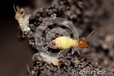 Termites Build Home