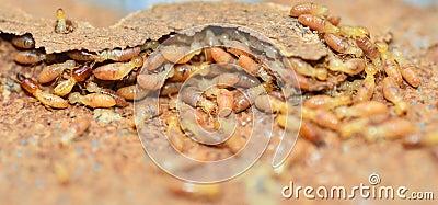 Termites Stock Photo - Image: 45329988 |Termites Eating House