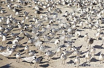 Tern birds on the beach