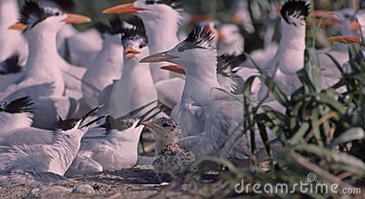 Tern colony in Gulf of Mexico