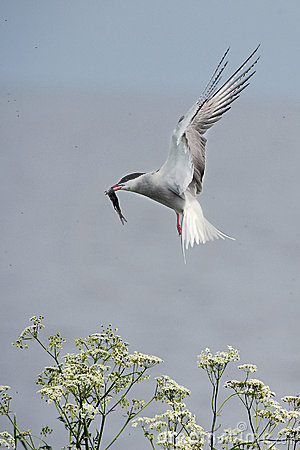 Tern with fish.