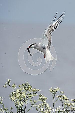 Tern with fish.