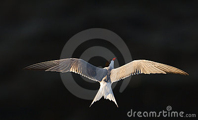 The Tern in flight against the dark water