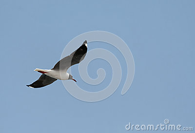 Tern in fly
