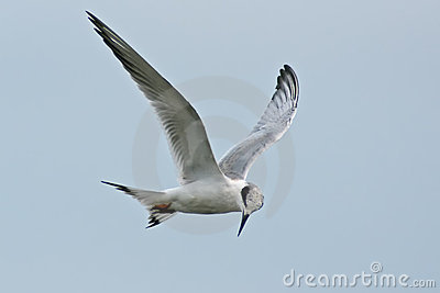 Tern forster s
