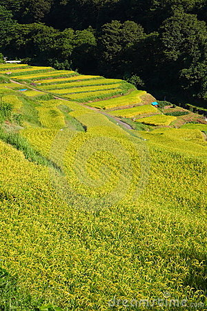 Terraced Rice Field Stock Photo - Image: 21077260
