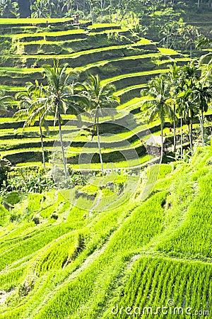 Terraced rice field in Bali