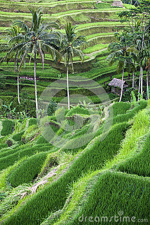 Terraced rice-fields step