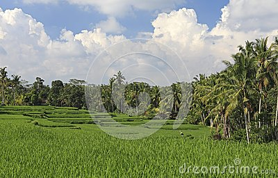 Terraced Rice Paddies, Bali