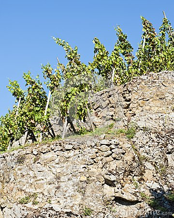 Terraced Vineyard of Ampuis