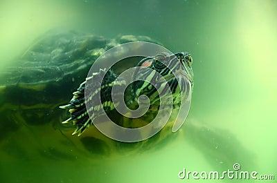 Terrapin underwater
