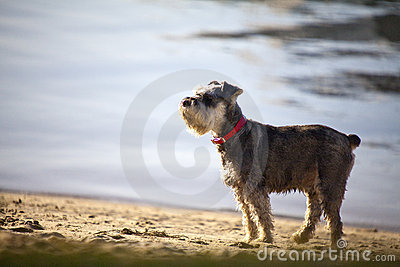 Terrier on the beach