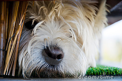 Terrier joven triste