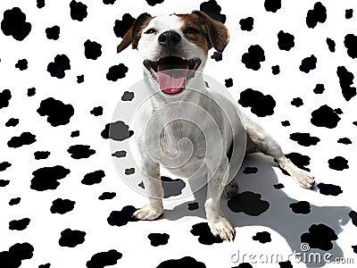 Terrier JRT de Jack Russell na lona da vaca