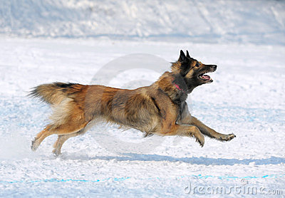 Tervuren dog runs