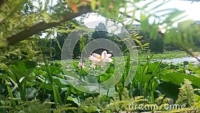 Pink lotus flower on a lake