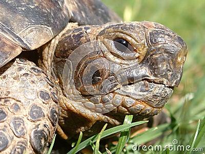 Testa del Tortoise