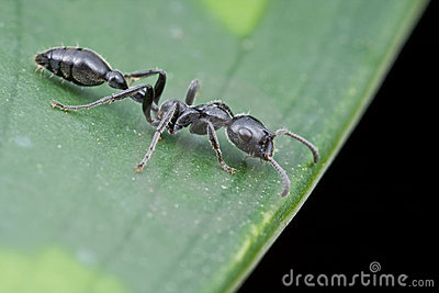 A Tetraponera sp ant on green leaf