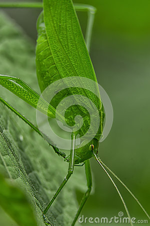 Free Tettigoniidae/ Katydids Or Bush Crickets Royalty Free Stock Photos - 60714648