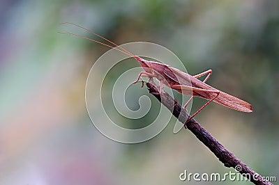 Tettigonioidea or grasshopper