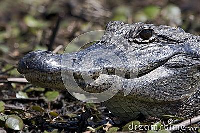 Texas Alligator