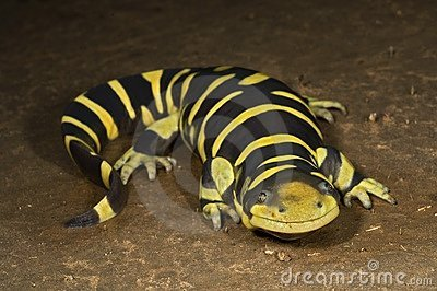 A Texas Barred Tiger Salamander