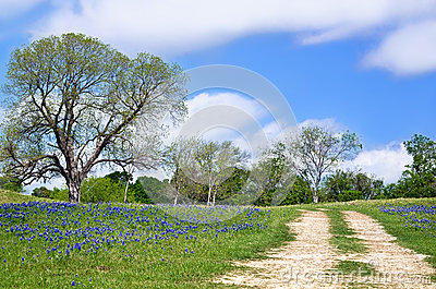 Texas bluebonnet vista along country road